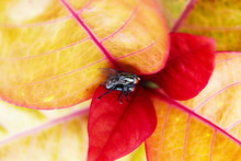 Two Flies Mating On Red Leaf