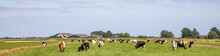 Herd Of Pasture Cows In A Wide Dutch Landscape Peaceful And Sunny With A Blue Sky On The Horizon.