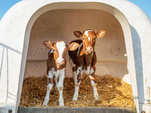 Two Cute Calves In A White Calfhutch, On Straw And With Sunshine