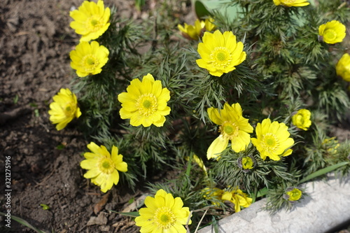 Photo Vibrant yellow flowers of Adonis vernalis in March