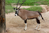 Fototapeta Sawanna - The male oryx antelope in sawanna garden