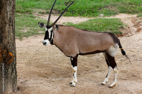 The male oryx antelope in sawanna garden