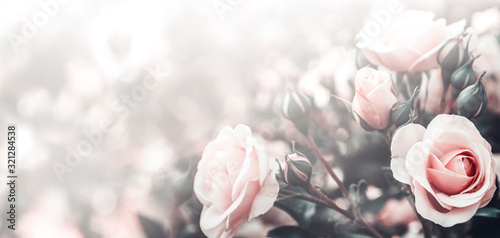 Obraz Fine art image of beautiful pastel roses in garden. - fototapety do salonu
