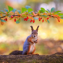 Cute Animal Red Squirrel Sitting In The Autumn Garden Under A Prickly Branch With Red Barberry Berries