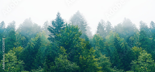 The dramatic wall fir-tree forest against the gray sky in the fog for creative background