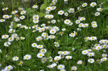 The Perennial Bellis Perennis Bloom In Nature