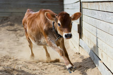 Jersey Calf Runs In A Dairy Farm, Body Portrait Of A Cow On Pasture In Motion