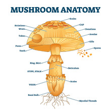 Mushroom Anatomy Labeled Biolo...