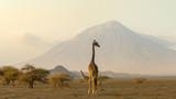 Fototapeta Sawanna - giraffes in the Ngorongoro crater with the Ol Doinyo Lengai volcano in the background