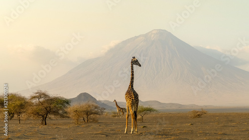 Photo giraffes in the Ngorongoro crater with the Ol Doinyo Lengai volcano in the backg