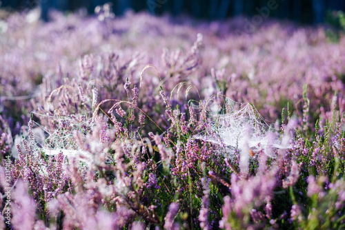 Fototapeta Forest floor of blooming heather flowers in a morning haze, spider silk close-up. Latvia obraz