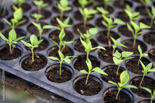 Cultivation chilli sprout in soil tray Fototapeta