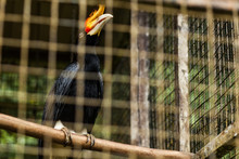 BORNEO, MALAYSIA - SEPTEMBER 6, 2014: Hornbill In The Cage