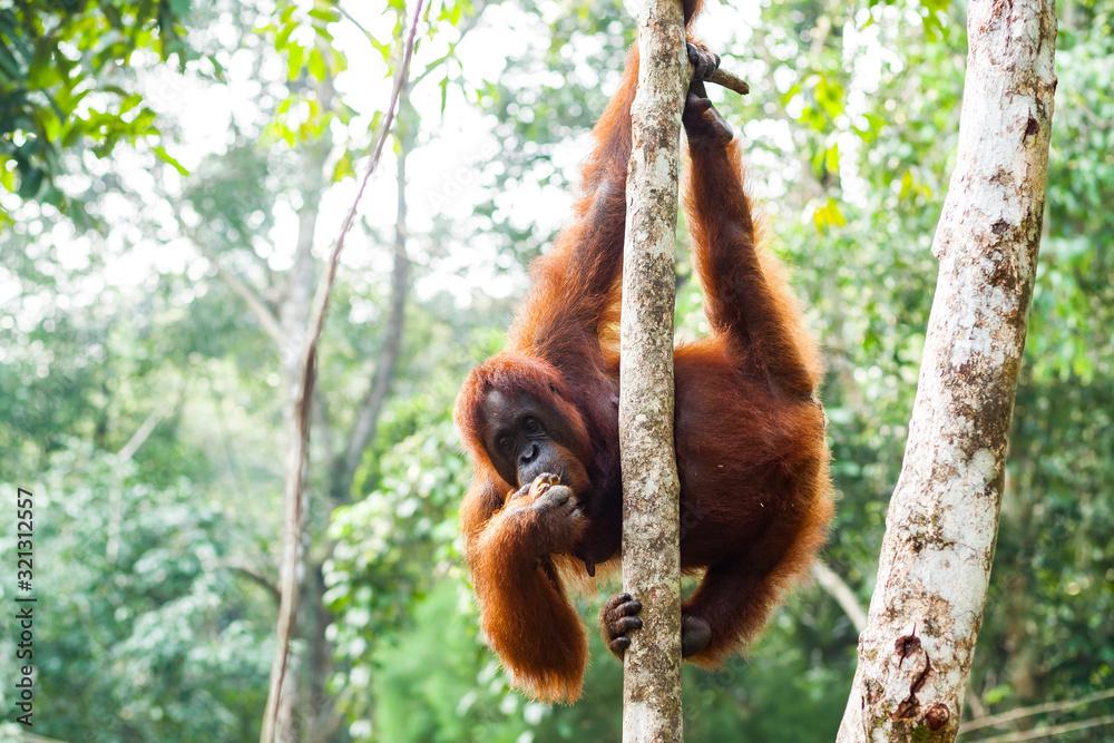 Fototapeta BORNEO, MALAYSIA - SEPTEMBER 6, 2014: Adult oangutan eating fruits