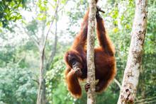 BORNEO, MALAYSIA - SEPTEMBER 6, 2014: Adult Oangutan Eating Fruits