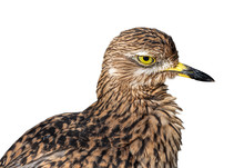 Spotted Thick-knee / Spotted D...