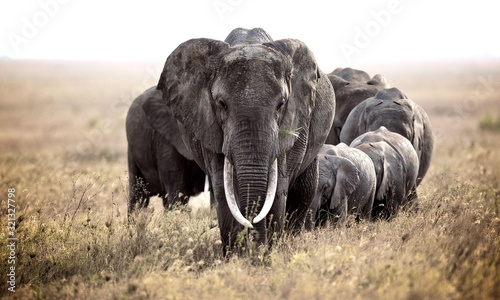 A herd of elephant walk towards the camera with all of them moving their trunks and smelling me Canvas Print
