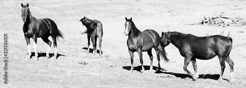 Horizontal banner in black and white of mare horse herd in pasture on sunny day.