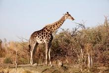 Wild Giraffe Sticking Tongue O...