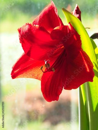 Photo Red amaryllis close-up