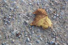 A Fallen Leaf In Autumn On The...