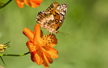 Euptoieta Claudia Or Variegated Fritillary On Orange Cosmos. It Is A North And South American Butterfly In The Family Nymphalidae. Cosmos Are Herbaceous Perennial Plants Or Annual Plants.