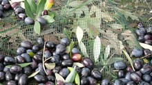 Harvesting Olives Ready To Be ...