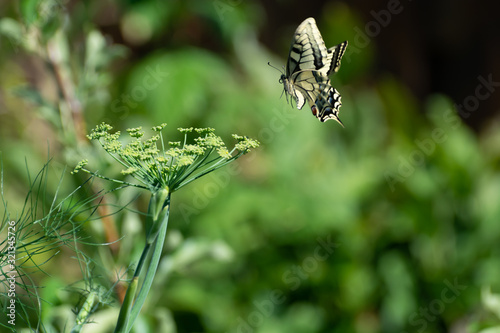 Valokuvatapetti Colorful butterfly sitting on green fennel plant