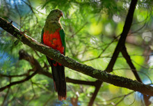Australian King Parrot - Alisterus Scapularis  Green And Red Bird Endemic To Eastern Australia, In Humid And Heavily Forested Upland Regions, Including Eucalyptus Wooded Areas