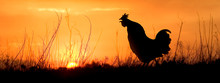 An Adult Chicken Rooster Crowing Ath The Morning Sunrise.