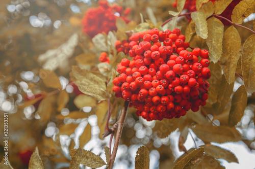 Bunches of rowan. Mountain ash. Red Rowan berries. Canvas Print