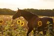 Pferd und Sonnenblumen