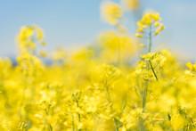 Rape Flowers In The Season Spring. Yellow Field