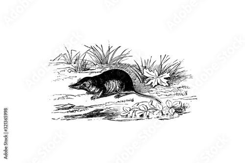 Obraz na plátně Shrew (family Soricidae) - Vintage Engraved Illustration 1889