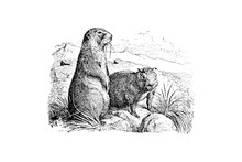 Marmots - Vintage Engraved Ill...