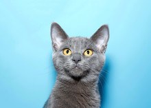 Portrait Of An Adorable Blue Grey Kitten, Chartreux, With Vibrant Yellow Eyes Looking Slightly Above Viewers. Blue Background With Copy Space.