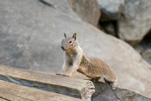 Cute Squirrel Leans Forward On A Rock In Western United States California Near Yosemite National Park