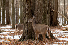 Deer. The White-tailed Deer, Also Known As The Whitetail Or Virginia Deer In Winter On Snow .State Park Wisconsin.