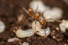 Macro Of An Ant Moving A Larva...