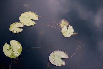 Mysterious dark pond with water lilies