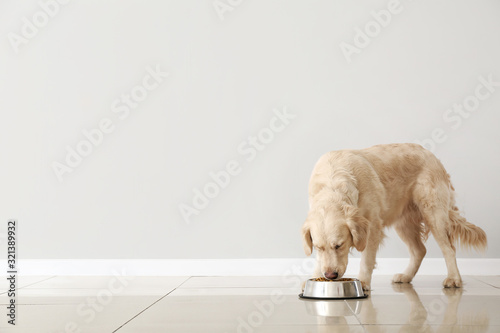 Obraz Cute dog eating food from bowl near light wall - fototapety do salonu