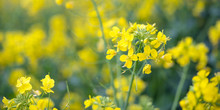 Canola Flower Field Background...