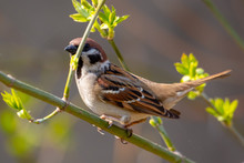 Sparrow On A Branch In The Spr...