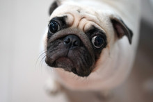 Hungry Pug Dog Made Her Face B...