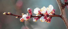 Flowers On Apricot In The Park In Spring