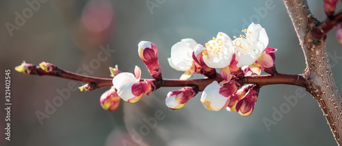 Flowers on apricot in the park in spring Canvas Print