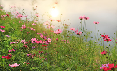 Obraz na płótnie Canvas Beautiful cosmos flower blooming in the summer garden field with rays of sunlight in nature.
