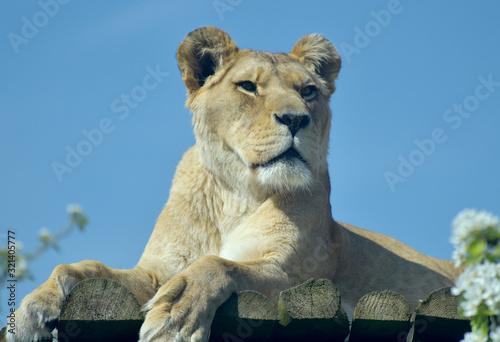Fototapety, obrazy: Barbary lion, Panthera leo, yawning and