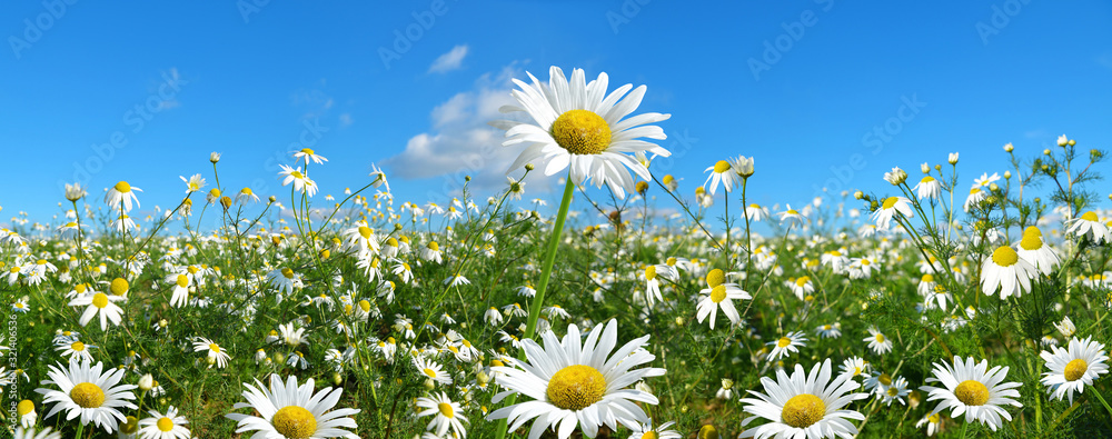 Fototapeta Marguerite daisies on meadow with blue sky at the background. Spring flower.