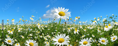 Foto Marguerite daisies on meadow with blue sky at the background